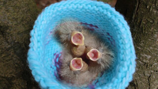 Knitted Bird Nest in blue colored yarn with three baby chicks inside with mouths open to feed.